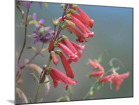 Firecracker Penstemon, New Mexico Usa-Tim Fitzharris-Mounted Photographic Print