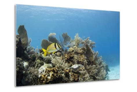 A Porkfish Swims Above a Lush Coral Head in Clear Blue Waters Off the Isle of Youth, Cuba-James White-Metal Print