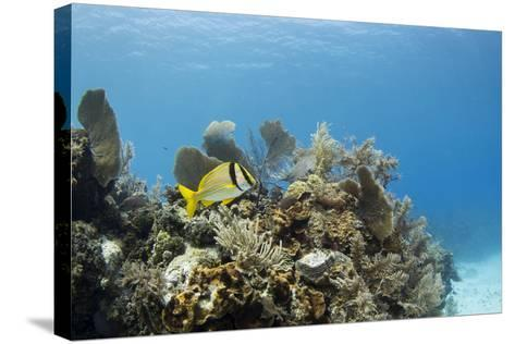 A Porkfish Swims Above a Lush Coral Head in Clear Blue Waters Off the Isle of Youth, Cuba-James White-Stretched Canvas Print