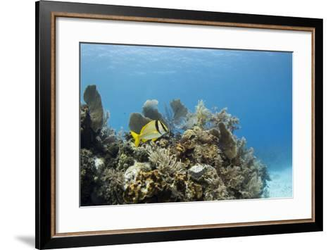 A Porkfish Swims Above a Lush Coral Head in Clear Blue Waters Off the Isle of Youth, Cuba-James White-Framed Art Print