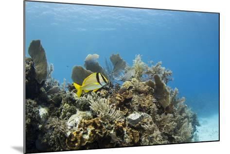 A Porkfish Swims Above a Lush Coral Head in Clear Blue Waters Off the Isle of Youth, Cuba-James White-Mounted Photographic Print