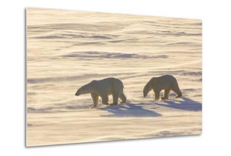 Polar Bears in Cape Churchill Wapusk National Park, Churchill, Manitoba, Canada-Richard and Susan Day-Metal Print