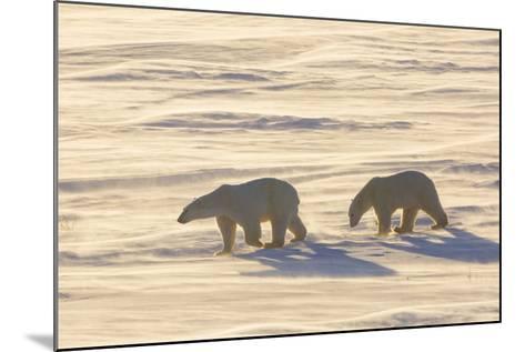 Polar Bears in Cape Churchill Wapusk National Park, Churchill, Manitoba, Canada-Richard and Susan Day-Mounted Photographic Print