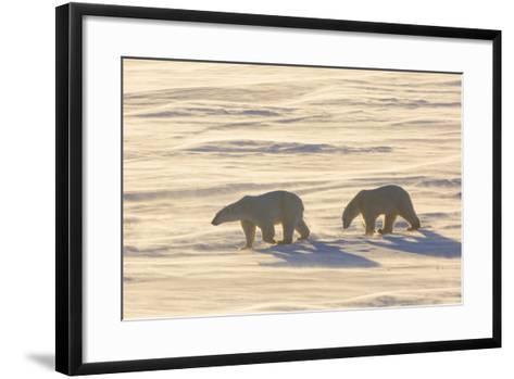 Polar Bears in Cape Churchill Wapusk National Park, Churchill, Manitoba, Canada-Richard and Susan Day-Framed Art Print