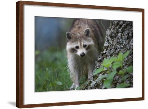 Raccoon Looks at the Camera, Montana, Usa-Tim Fitzharris-Framed Art Print