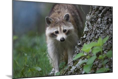 Raccoon Looks at the Camera, Montana, Usa-Tim Fitzharris-Mounted Photographic Print