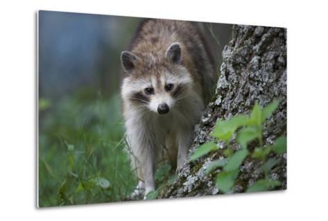 Raccoon Looks at the Camera, Montana, Usa-Tim Fitzharris-Metal Print