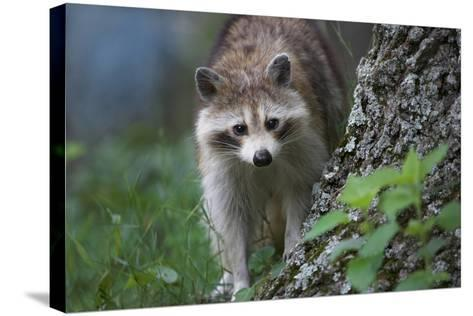 Raccoon Looks at the Camera, Montana, Usa-Tim Fitzharris-Stretched Canvas Print