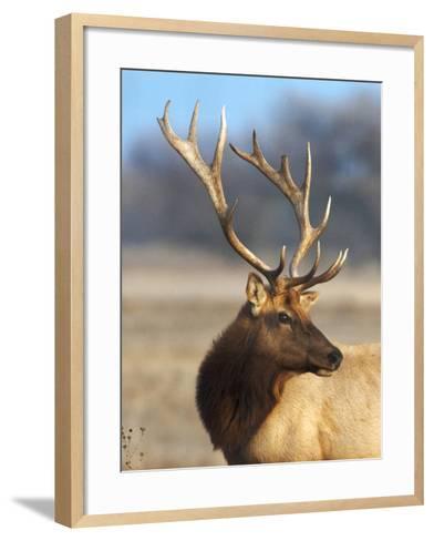 A Head Portrait of a Stunning Elk-John Alves-Framed Art Print