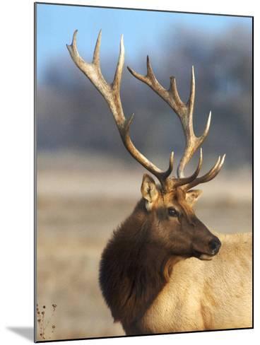 A Head Portrait of a Stunning Elk-John Alves-Mounted Photographic Print