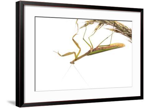 Praying Mantis on White Background, Marion County, Il-Richard and Susan Day-Framed Art Print