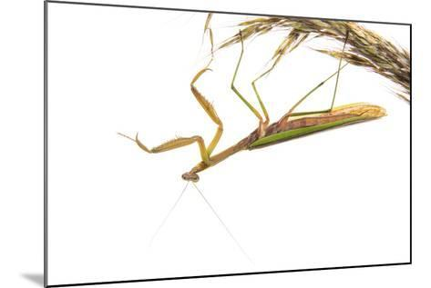 Praying Mantis on White Background, Marion County, Il-Richard and Susan Day-Mounted Photographic Print