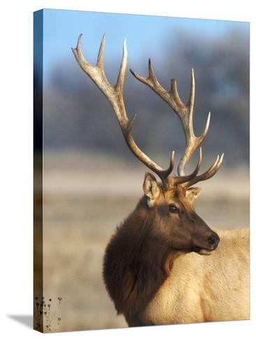 A Head Portrait of a Stunning Elk-John Alves-Stretched Canvas Print