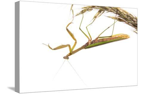 Praying Mantis on White Background, Marion County, Il-Richard and Susan Day-Stretched Canvas Print