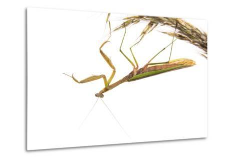 Praying Mantis on White Background, Marion County, Il-Richard and Susan Day-Metal Print