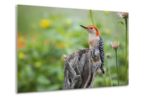 Red-Bellied Woodpecker Male in Flower Garden, Marion County, Il-Richard and Susan Day-Metal Print