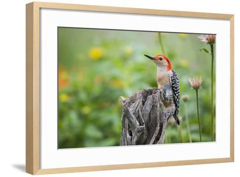 Red-Bellied Woodpecker Male in Flower Garden, Marion County, Il-Richard and Susan Day-Framed Art Print