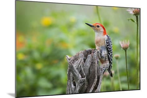 Red-Bellied Woodpecker Male in Flower Garden, Marion County, Il-Richard and Susan Day-Mounted Photographic Print