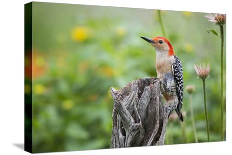Red-Bellied Woodpecker Male in Flower Garden, Marion County, Il-Richard and Susan Day-Stretched Canvas Print