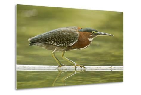 Mexico, Young Non-Breeding Adult Hunting for Fish in Forest Stream-David Slater-Metal Print