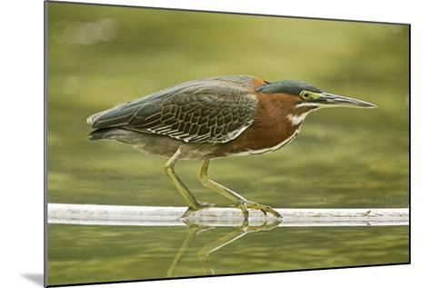 Mexico, Young Non-Breeding Adult Hunting for Fish in Forest Stream-David Slater-Mounted Photographic Print