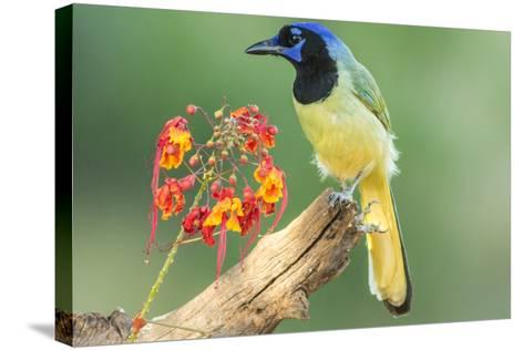 Texas, Hidalgo County. Green Jay on Log-Jaynes Gallery-Stretched Canvas Print