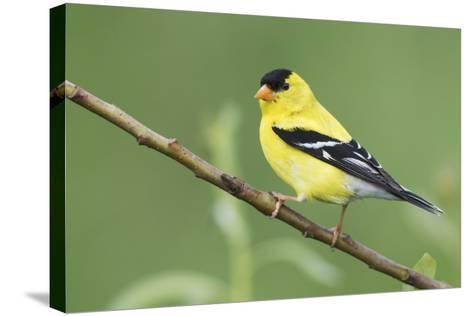 American Goldfinch-Ken Archer-Stretched Canvas Print