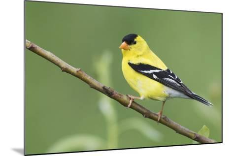 American Goldfinch-Ken Archer-Mounted Photographic Print