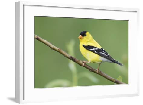 American Goldfinch-Ken Archer-Framed Art Print