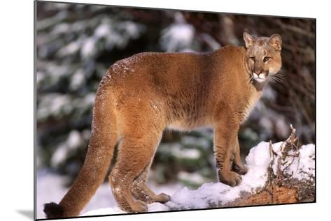Mountain Lion, Montana-Richard and Susan Day-Mounted Photographic Print