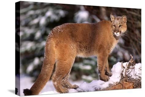 Mountain Lion, Montana-Richard and Susan Day-Stretched Canvas Print