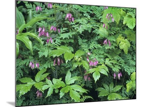 Bleeding Hearts, Columbia River Gorge, Usa Spring-Tim Fitzharris-Mounted Photographic Print