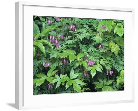 Bleeding Hearts, Columbia River Gorge, Usa Spring-Tim Fitzharris-Framed Art Print