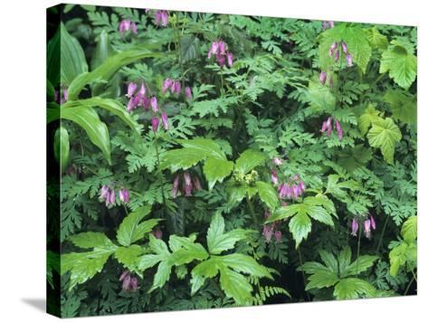 Bleeding Hearts, Columbia River Gorge, Usa Spring-Tim Fitzharris-Stretched Canvas Print