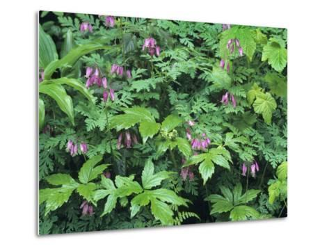 Bleeding Hearts, Columbia River Gorge, Usa Spring-Tim Fitzharris-Metal Print