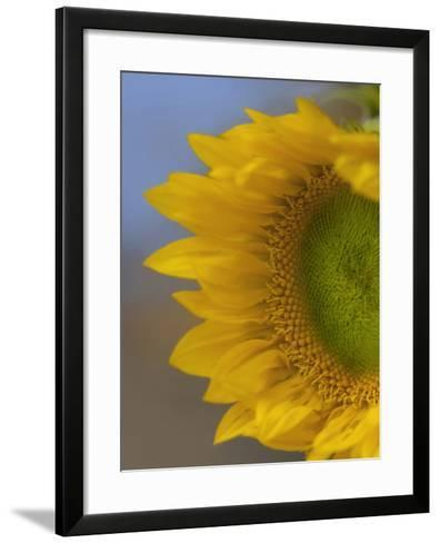Immature Sunflower Still Growing-Tim Fitzharris-Framed Art Print