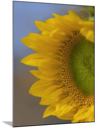 Immature Sunflower Still Growing-Tim Fitzharris-Mounted Photographic Print