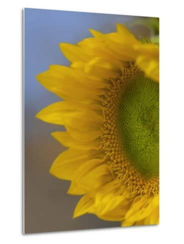 Immature Sunflower Still Growing-Tim Fitzharris-Metal Print