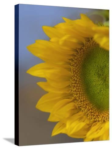 Immature Sunflower Still Growing-Tim Fitzharris-Stretched Canvas Print