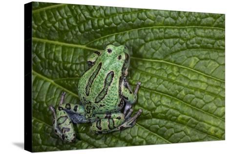 San Lucas Marsupial Frog, Andes, Ecuador-Pete Oxford-Stretched Canvas Print