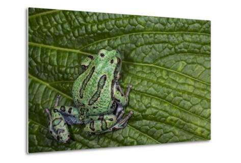 San Lucas Marsupial Frog, Andes, Ecuador-Pete Oxford-Metal Print