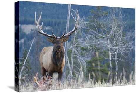 Rocky Mountain Bull Elk-Ken Archer-Stretched Canvas Print