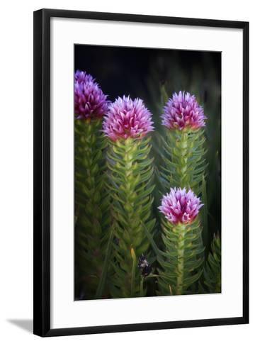 Colorado, Mt. Evans. Close-Up of Queen's Crown Flowers-Jaynes Gallery-Framed Art Print
