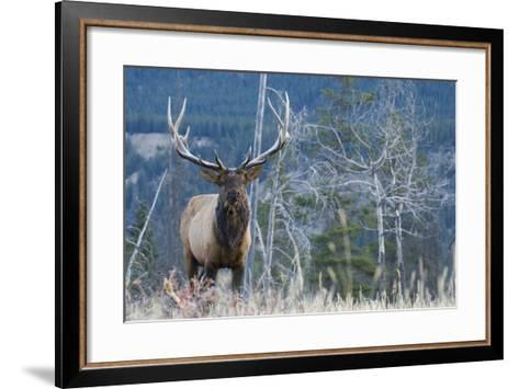 Rocky Mountain Bull Elk-Ken Archer-Framed Art Print