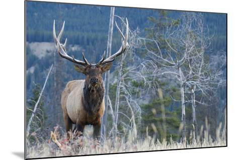 Rocky Mountain Bull Elk-Ken Archer-Mounted Photographic Print