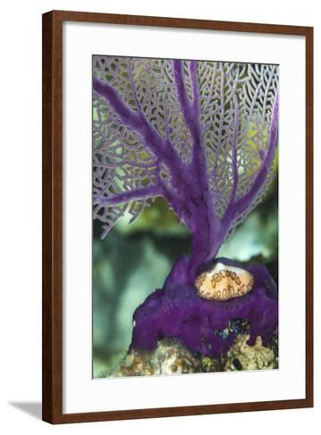 A Flamingo Tongue Snail Climbs across an Iridescent Purple Soft Coral Near Staniel Cay, Bahamas-James White-Framed Art Print