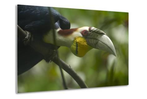 Wreathed Hornbill Looking Out Curiously, Sabah, Malaysia-Tim Fitzharris-Metal Print