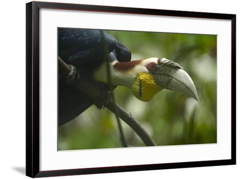Wreathed Hornbill Looking Out Curiously, Sabah, Malaysia-Tim Fitzharris-Framed Art Print