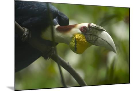 Wreathed Hornbill Looking Out Curiously, Sabah, Malaysia-Tim Fitzharris-Mounted Photographic Print
