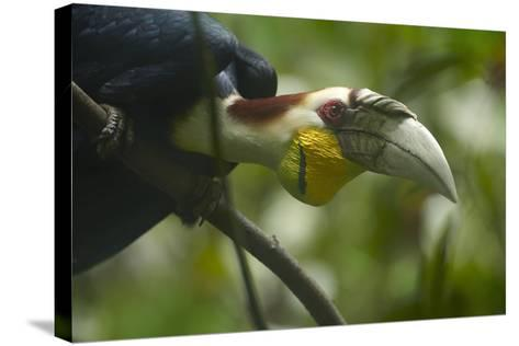 Wreathed Hornbill Looking Out Curiously, Sabah, Malaysia-Tim Fitzharris-Stretched Canvas Print